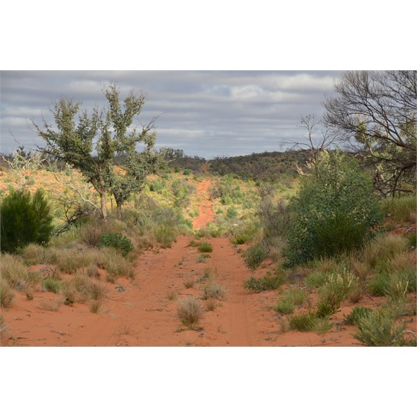 Regrowth of both special in  remote area of the Great Victoria Desert