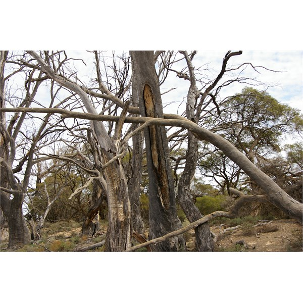 Behind the Scab Inspectors Hut is another good example of an Aboriginal Canoe Blaze tree
