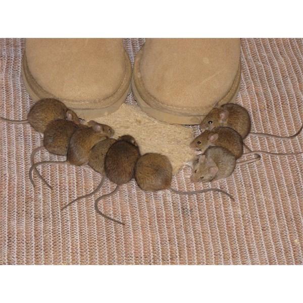 Hungry mice.