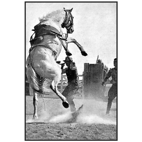The infamous horse of the Warwick Rodeo, Arrawidgee (Grey Ghost) in 1936.