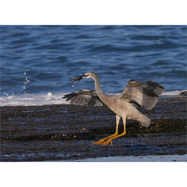 The same Heron, landing with lunch in its beak