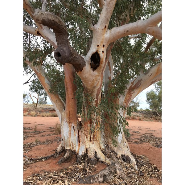 River red gums - Hay River