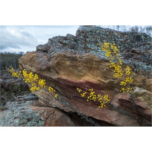 Wattle and rock