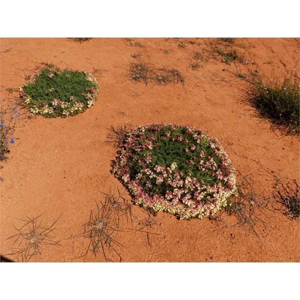 Wreath Flowers Leschenaultia macrantha