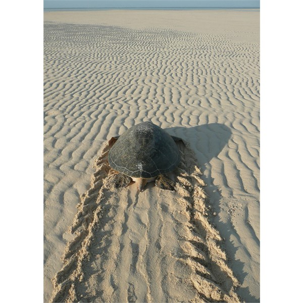 Turtle returning to sea after laying eggs - Ashmore Reef West Island