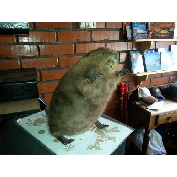Stuffed Beaver Port Williams