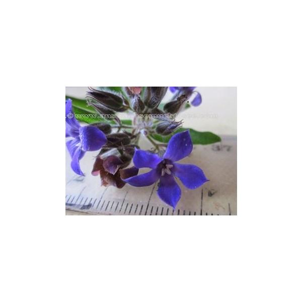 Billardiera Variifolia