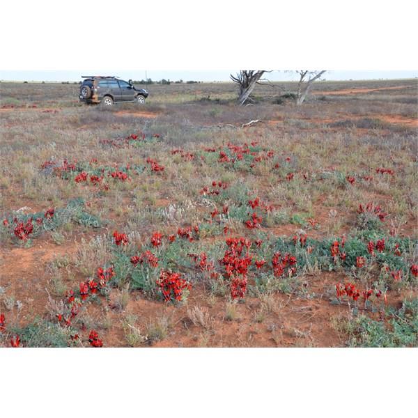 Sturt Desert Pea were in full bloom along the Caravan Track