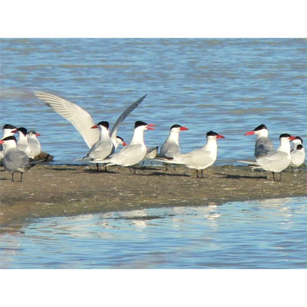 Coongee Lakes birds
