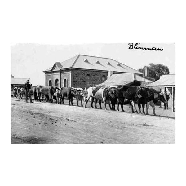 Bullocks haul a wagon through Blinman about 1904