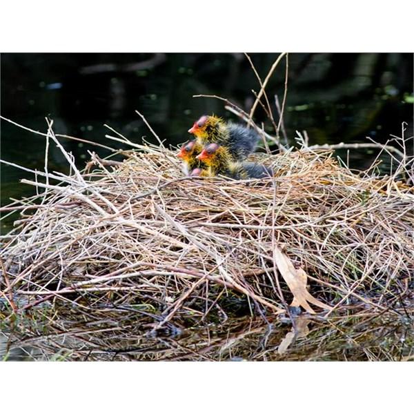 Eurasian Coot chicks