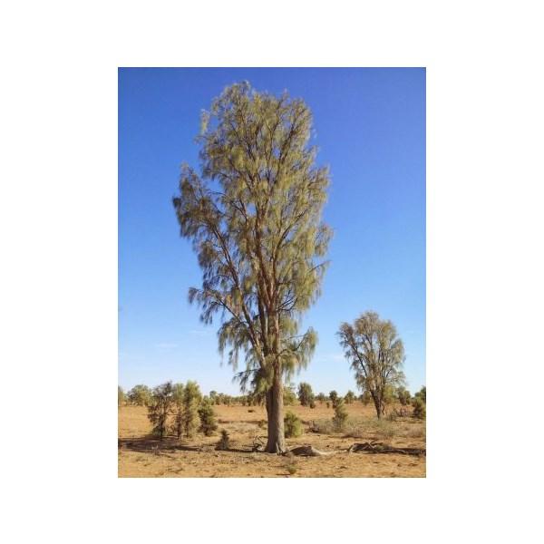 Waddi Tree