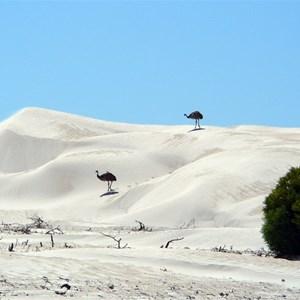 Emus enjoying the views.