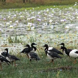waterbirds are abundant on the lagoon