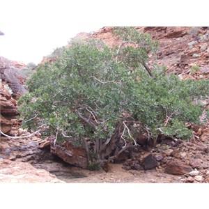 Draper's Gorge Fig Tree