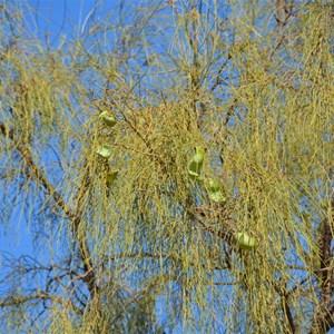 Waddi Trees - Boulia