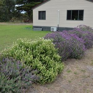 Kangaroo Island Lavender Farm