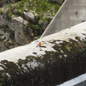 Flame Robin on spillway crest