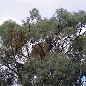 Ngak Indau Wetland Trail - Interpretive Sign - Mistletoe