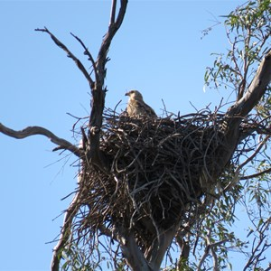 Whistling kite's nest