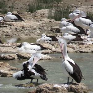 Pelicans a  preening