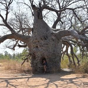 Prison Boab Tree - Wyndham