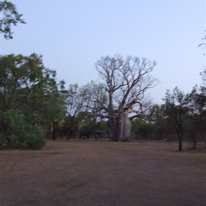 Boab Tree at Manning Gorge Campsite