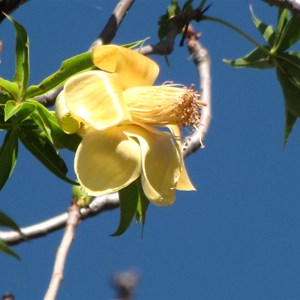Boab blossom out of season