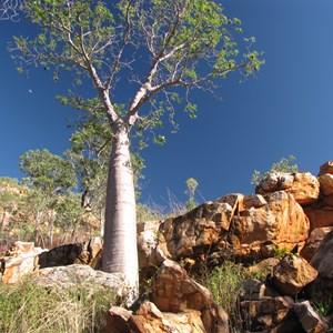 Boab among the boulders