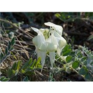 White Sturt Pea