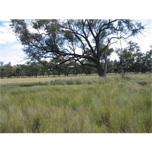 Bellenbar Grass