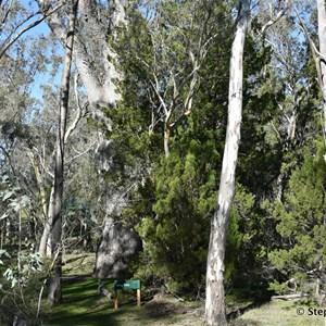 Wirrabara Forrest King Tree