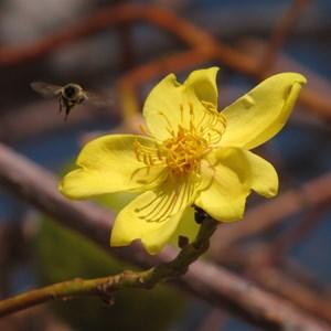 Kapok pollination