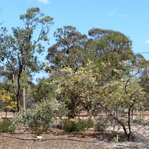 A Grevillea bread on the property and named for a family member