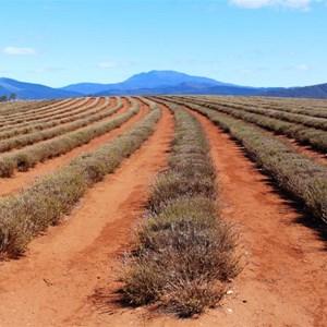 A closer view of lavender plants