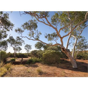 Ghost gums around well