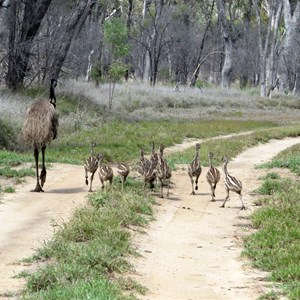 10 emu chicks