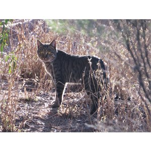 Feral cat west of town