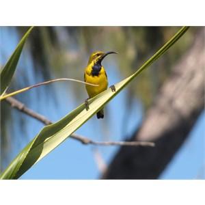 Yellow breasted honeyeater