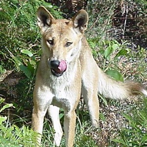 dingoes can hang around the holiday homes, DON'T feed them