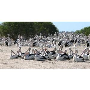 Pelican Rookery at Kilcowera Station
