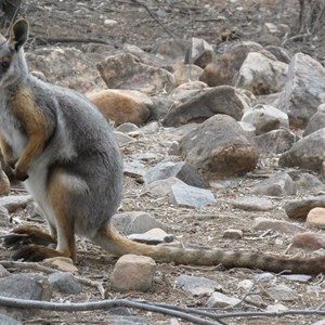 Yellow-Footed Rock Wallaby right next to the road!  Vulkathunha-Gammon Ranges National Park, 8 June 2018