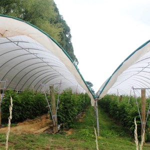 Raspberries are cultivated under the cover of mesh covers.