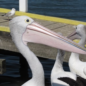 Plenty of pelicans