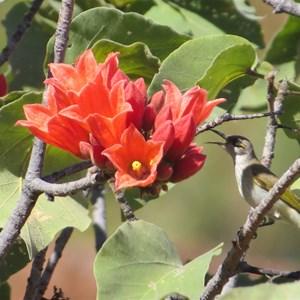 Kimberley rose