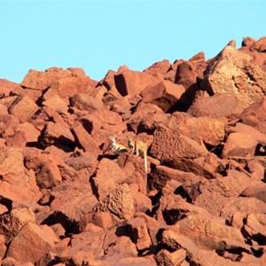 wallabies among the rocks