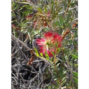 Wildflower at Elachbutting Rock