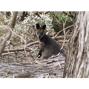 A furry wallaby
