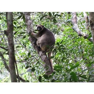 Tree kangaroo - hard to spot at first