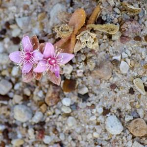 koch's Pigface Gunniopsis kochii (Aizoaceae)